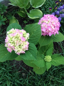 Our hydrangeas starting to bloom